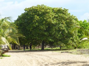 This very full Cashew tree dominated our view