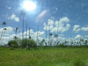 We came upon a grove of coconut trees that no longer produce coconuts.