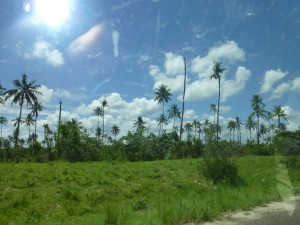 Many coconut trees growing healthfully