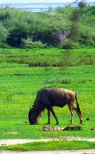 Wildebeest muching on the nutritious grass