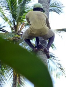 A worked scales the tree to cut down the coconuts