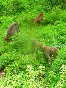 Baboons seem to prefer dense nature.  They seem to constantly be on the move.