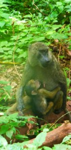 Baboon: mother and baby