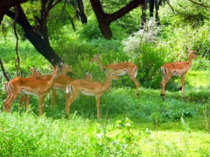 Gazelles in a grove of trees.