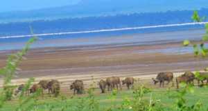 We see a herd of wildebeests.  In the distance check out the shimmering pink in Lake Manyara.  That indicates there are a huge number of flamingos.