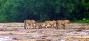 These mama lions with babies follow the leaders