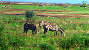Zebras enjoying the nourishment of the grass and the afternoon sun