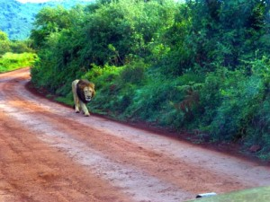 We crested over a hill and this lion was walking towards us