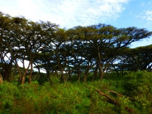 I wonder if these are Acacia trees?