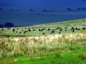As we descended into the crater this huge collection of buffalos were grazing.