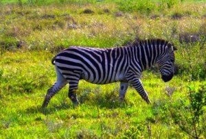A zebra on the move.