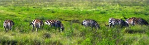 Zebras eating up their breakfast