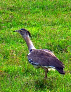 Searching for the name of this bird on Google images, I think this is a Kori Bustard - Ardeotis kori