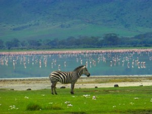I love this photo of a zebra in front of the lake filled with flamingos
