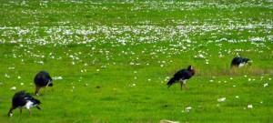Saddle-billed Storks (Ephippiorhynchus senegalensis)  ??