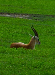This beautiful gazelle was resting.