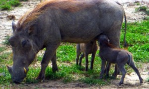 Many Wart Hog mothers were busily feeding.