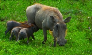 The Wart Hog babies are thirsty