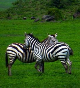 This intimacy of two Zebras is so special.