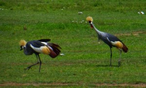 Crowned-Crane, I believe