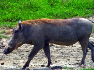 A herd of wart hogs are nearby