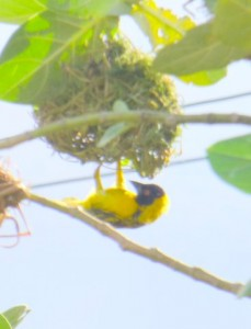 This tiny yellow bird lives in the densest nest I have ever seen