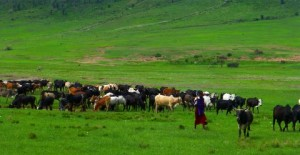 An invasion of cows brought into the Crater by the Masai